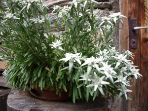 Edelweiss in the Alps